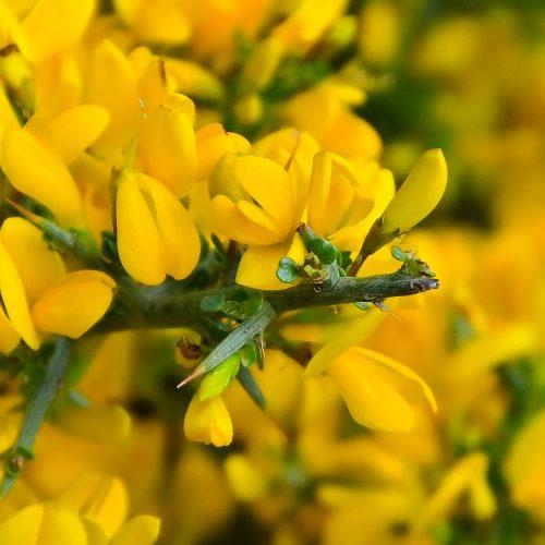 Argelaga (Genista Scorpius)