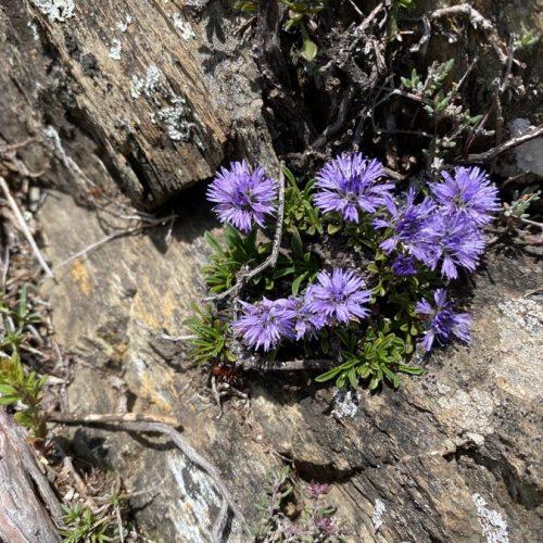 Lluqueta de Roca (Globularia Repens)