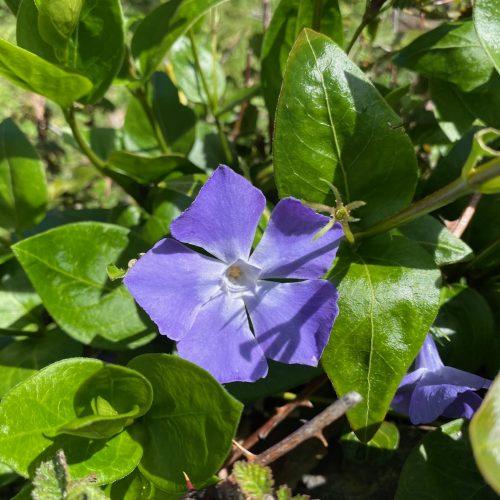 Viola de Bruixa (Vinca Major)